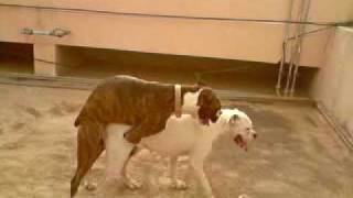 Boxer Mating