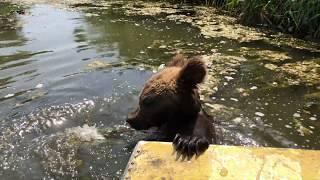 Медведь Том в речке Анапка 24.08.2019
