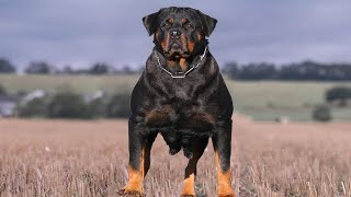 Do You Want a Rottweiler? Check This!!