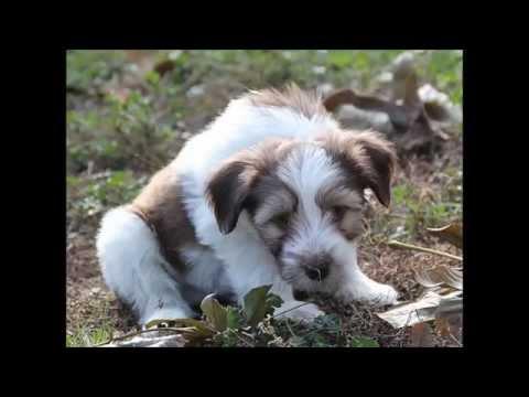 Tibetan Terrier - Justin z Targenu
