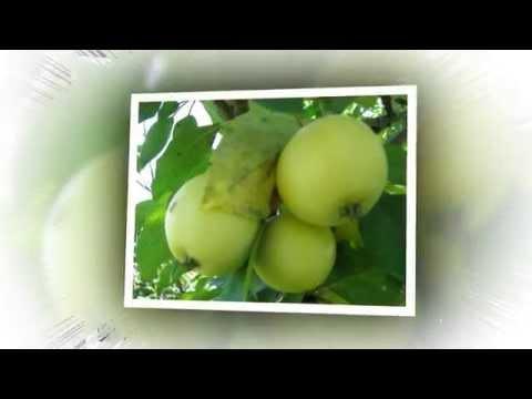 Сорта яблони Плодовый сад