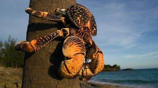 Los cangrejos monstruos son habladores durante el apareamiento