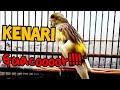 Kenari Umur  Bulan Gacor Cocok Untuk Memancing Paud Kenari Budy Tk  Mp3 - Mp4 Download