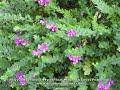 Polygala myrtifolia - Myrtle-leaf Milkwort (Sweet Pea Shrub)