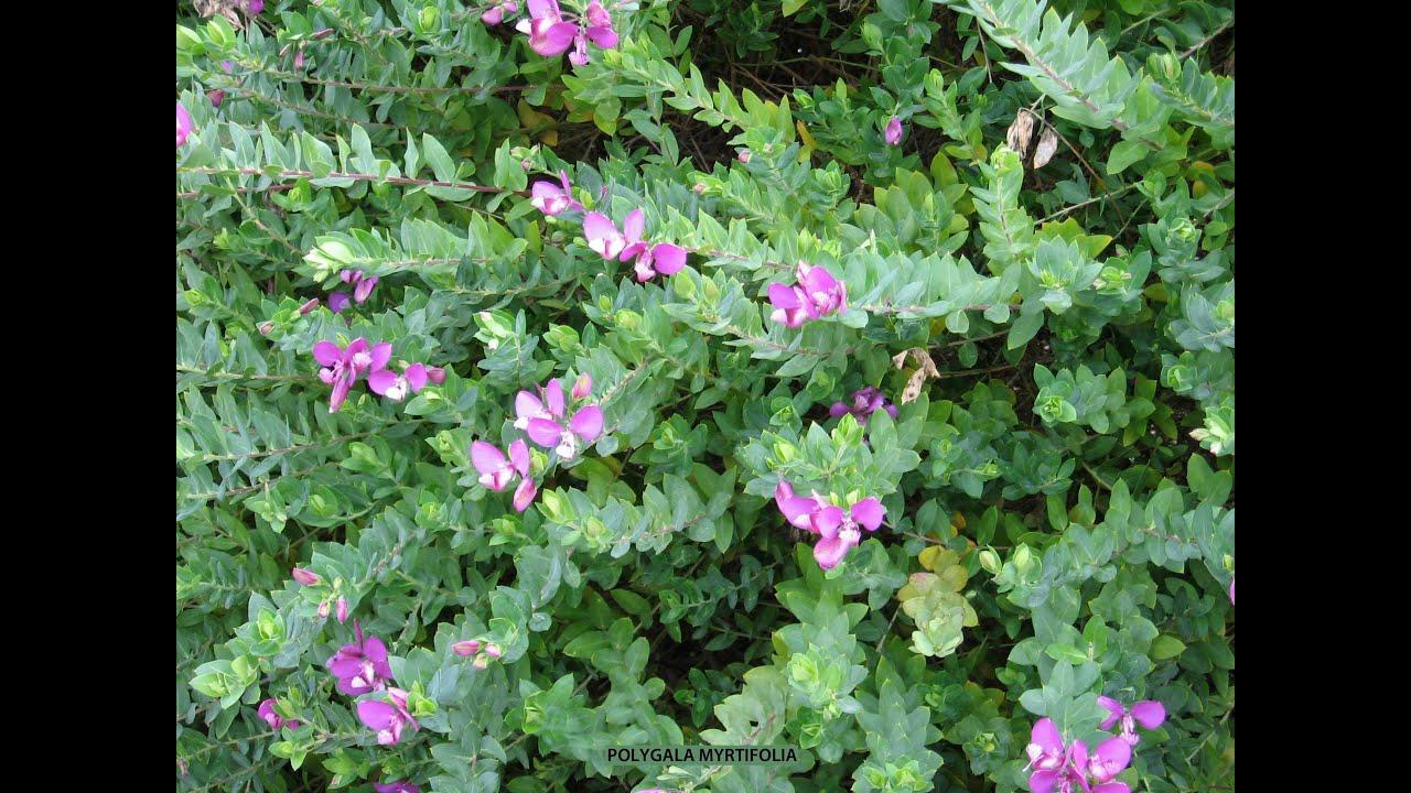 Polygala Myrtifolia Myrtle Leaf Milkwort Sweet Pea Shrub