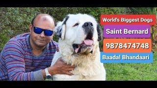 #SaintBernard #BiggestDogs | By Baadal Bhandaari | Pathankot Punjab 9878474748
