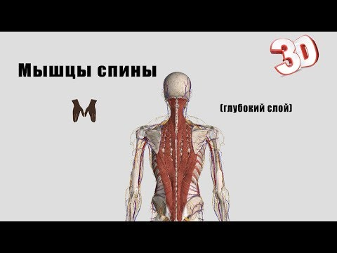 Глубокие мышцы спины (детальный обзор)