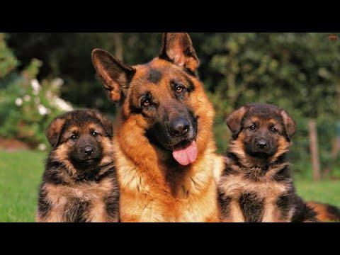 Роды , щенки , немецкая овчарка от 19ти до новой семьи. Часть №2