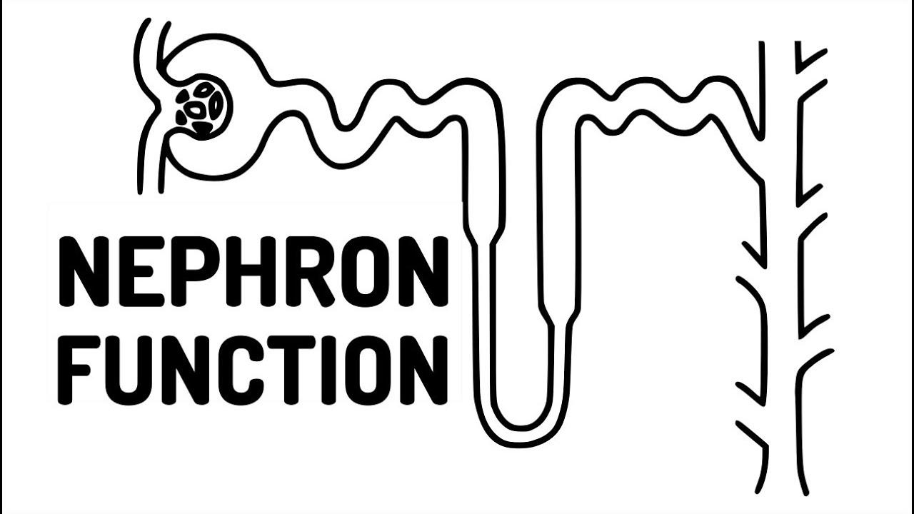 diagram of nephron 15 3 [ 1280 x 720 Pixel ]