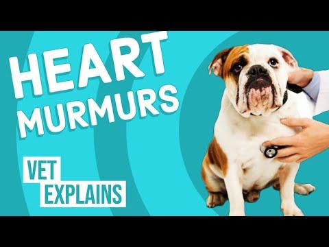 Heart Murmurs in Dogs