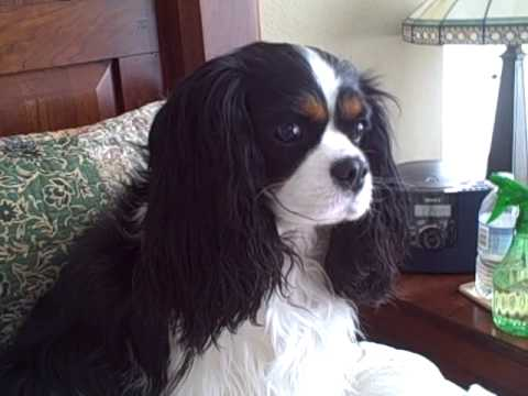 Lacey, my Cavalier King Charles Spaniel, trying to nap.