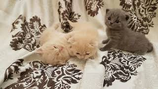 """Британские котята питомника """"Brita Stilo"""""""