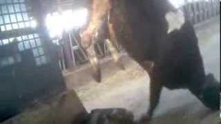 WATCH: Cows Kicked, Stabbed and Dragged at Dairy Factory Farm