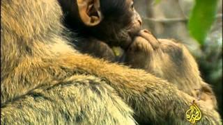 القرود ـ عالم عجيب