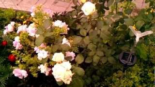Садовое цветоводство: уход за розами - ч.1(Уход за садовыми розами в августе: подкормка цветов и удобрение почвы. Как часто поливать и что делать для..., 2012-08-17T11:57:58.000Z)