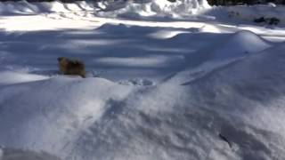 Pomeranian Playing In The Snow!!!
