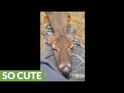Wild Deer Preciously Falls Asleep In Person's Lap