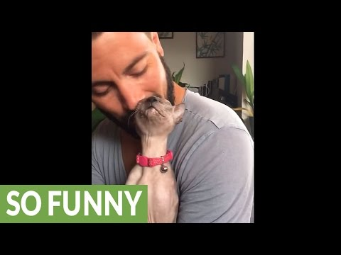 Sphynx kitten uses owner's beard as scratching post