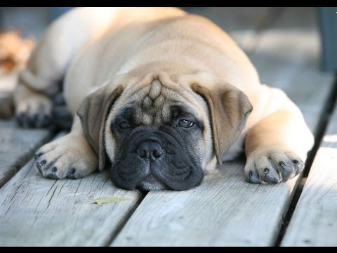 ►✠Top 10 Laziest Dog Breeds In The World✠◄