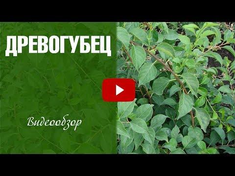 Древогубец ➡ Вьющиеся растения уход и особенности выращивания 🌟 сад огород с  hitsadTV