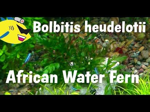 African Water Fern: Bolbitis heudelotti Plant Profile