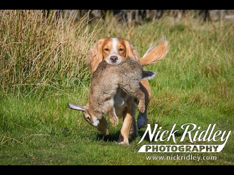 Rough Shooting for Rabbits with Cocker Spaniel