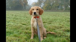 Daisy - 15 Week Old Golden Retriever Puppy - 2 Weeks Residential Dog Training
