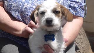 Adopt Me: Rory, A 9-week Old Jack Russell Terrier Mix Puppy