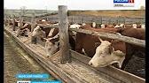 Ферма по разведению мясных пород крс - YouTube