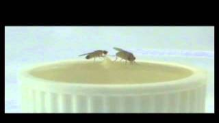 Complicated Gene Networks Involved in Fly Aggression (video 01)