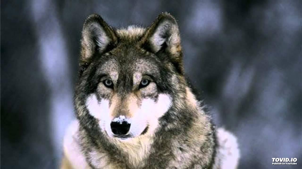 Скачать бесплатно блатной удар одинокий волк (работа sound low.