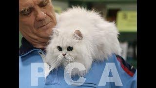 Персидская классическая шиншилла. Выставка кошек PCA on-line