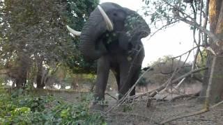 Big Vic Mana Pools National Park (Elephant)