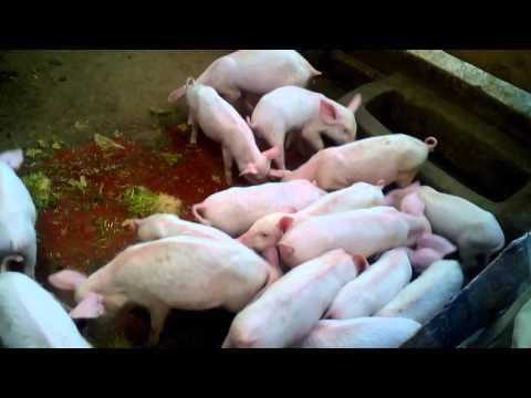 Hydroponic farming: Feeding pigs on hydroponic fodder.