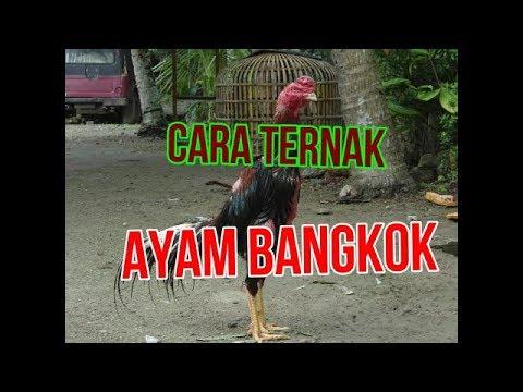 Tips Cara Ternak AYAM BANGKOK SUPER - YouTube