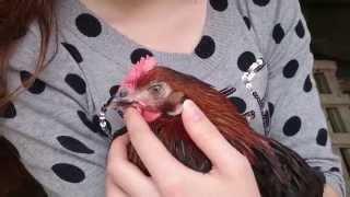 Chicken loves cuddling thumbnail