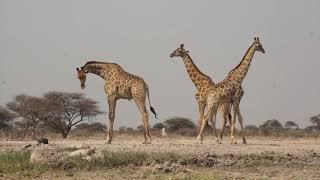 """Voyage en Namibie """"Onguma"""""""