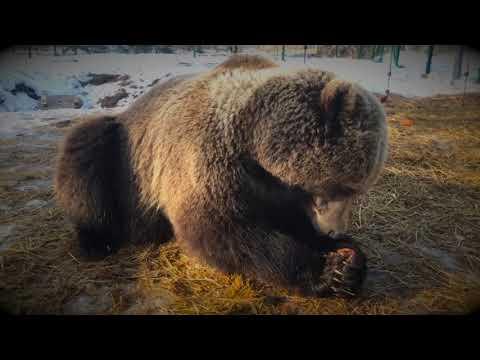 У медведя Мансура новые игрушки  (10 марта 2019г)