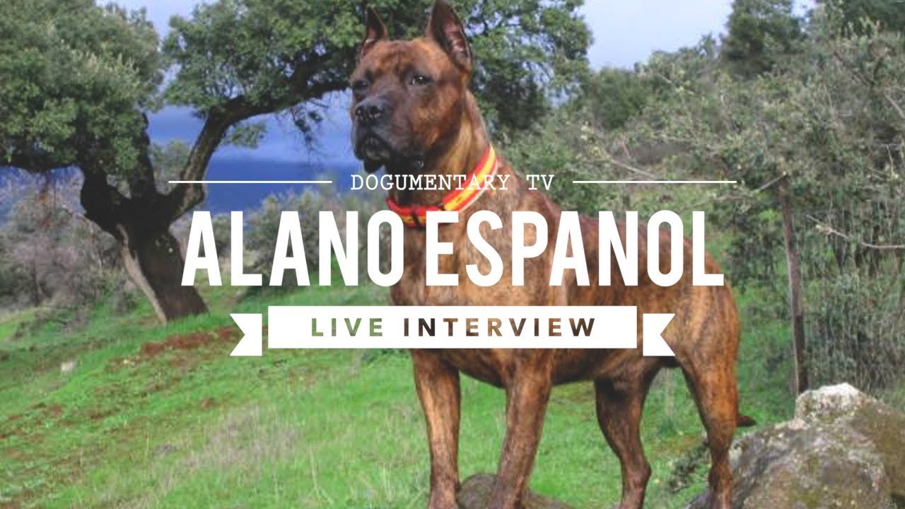 Dogumentary Tv Interview Alano Espanol Youtube