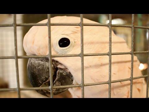 Magnolia Bird Farm: The Moluccan Cockatoo