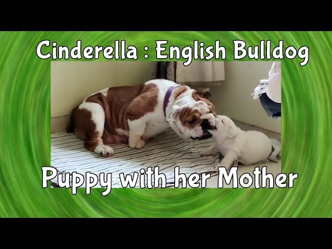 Puppy Biting Her Mother | English Bulldog Puppy : Cinderella | Funny Dog Videos | Yash Arts India