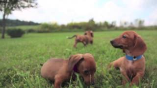 Aca/red Dapple-dachshund Puppies | Pebbles-zoey-violet-norman