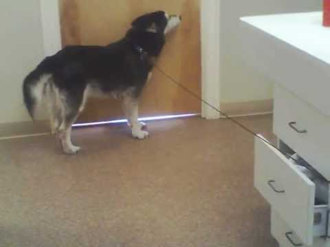 Arthritic dog walks again!