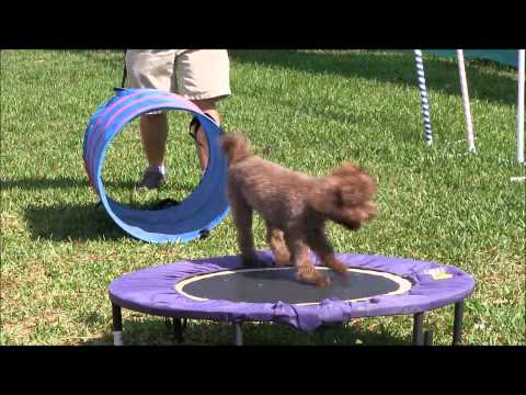coco the circus poodle