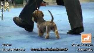 Show Dog Dachshund - Baudenhard Denver Shufle - Fcc - Kcsc - Abril 2012.mpg