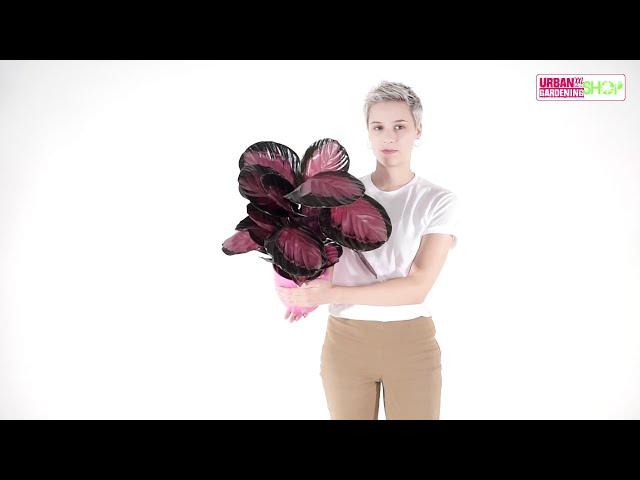 MARLENE - Calathea Crimson Pink