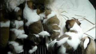 Shih Tzu Puppies For Sale In Ga Fl Al Sc Nc Tn Atl Jax Birm Talla Shihtzuga.weebly.com