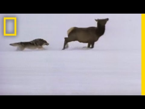 Wolf Hunting Tactics | National Geographic