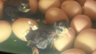 Egg to Chicken by Incubator -  Egg Hatched Full Video