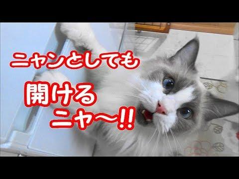 冷蔵庫を自力で開けようとがんばる猫 コハク君 Ragdoll Cat Kohaku.  He wants to open the frige.
